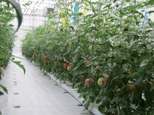新ハウスで栽培中の大玉トマトが初収穫を迎えました。
